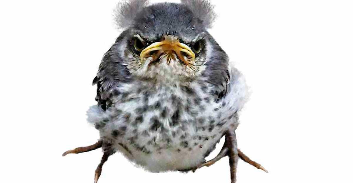 texas state bird